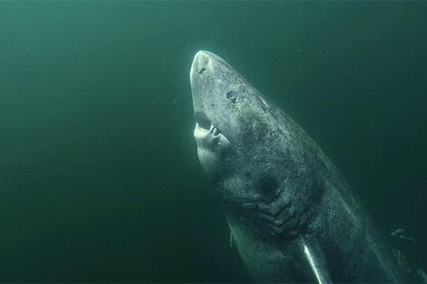 Phát hiện cá mập quái vật sống hơn 5 thế kỉ, thọ nhất thế giới - 3