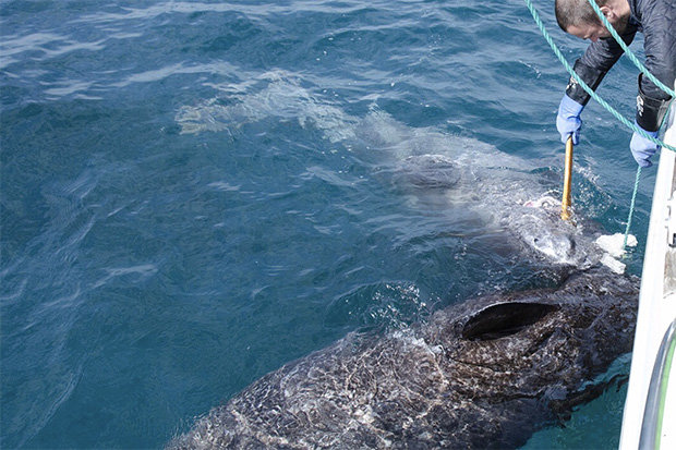 Phát hiện cá mập quái vật sống hơn 5 thế kỉ, thọ nhất thế giới - 2