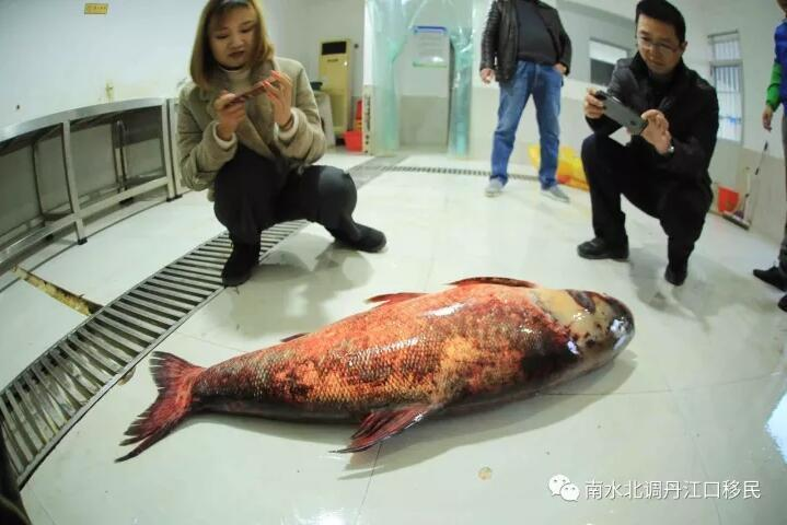 """TQ: Bắt được cá mè vua """"thành tinh"""", lớn nhất trong 50 năm - 6"""