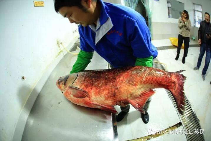 """TQ: Bắt được cá mè vua """"thành tinh"""", lớn nhất trong 50 năm - 2"""