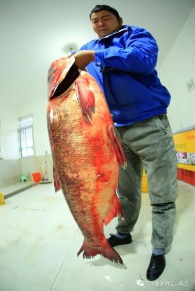"""TQ: Bắt được cá mè vua """"thành tinh"""", lớn nhất trong 50 năm - 3"""