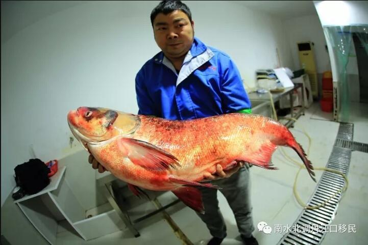 """TQ: Bắt được cá mè vua """"thành tinh"""", lớn nhất trong 50 năm - 1"""