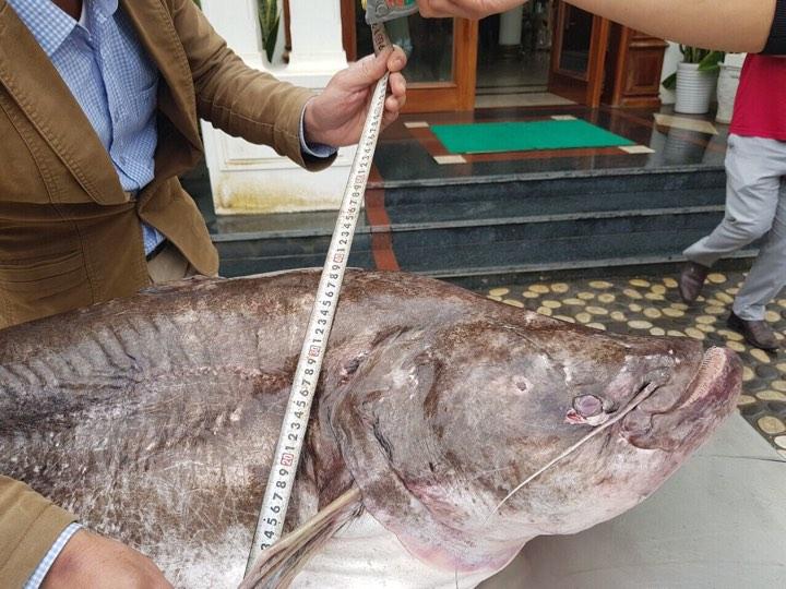 """Cá leo khổng lồ, dài gần 1,7m """"bay"""" từ nước ngoài về Hưng Yên - 3"""
