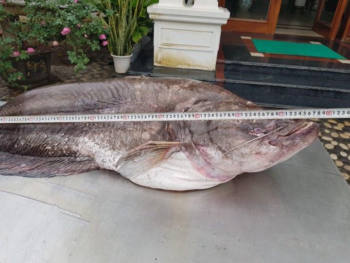 """Cá leo khổng lồ, dài gần 1,7m """"bay"""" từ nước ngoài về Hưng Yên - 2"""