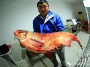 """TQ: Bắt được cá mè vua  """" thành tinh """" , lớn nhất trong 50 năm"""