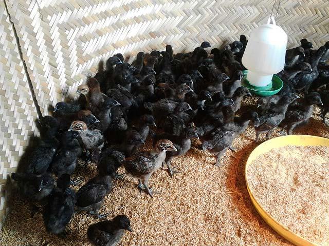Chàng trai Nùng ăn nên làm ra nhờ 2.000 gà Mông đặc sản - 6