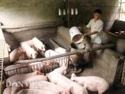 Giá lợn hơi hôm nay 15.12: Tăng lên 34.000 đồng/kg, nông dân khấp khởi hi vọng vụ Tết