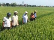 """Triết lý  """" 6 cây 2 con """"  ở Quảng Trị: Trồng lúa sạch, dược liệu giá cao"""