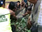 Thái Lan: Giải cứu  Vua đầm lầy  200 kg bị mắc cạn