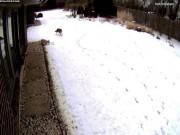 Chó nhà bé nhỏ gặp chó sói, dũng cảm đối đầu