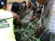 """Thái Lan: Giải cứu """"Vua đầm lầy"""" 200 kg bị mắc cạn"""