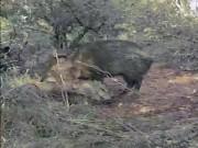 """Video: Lợn lòi chết, đồng loại đến  """" viếng """"  suốt 10 ngày"""