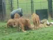 Sư tử khốn khổ vì bị kẹt đầu trong thùng nhựa