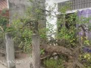 Kiểng lạ 100 tuổi, có lá tỏa hương thơm độc đáo ở đất Thành Nam