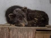 Sinh vật bí ẩn thân chó, mặt gấu lang thang trên phố ở Nga