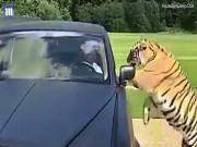 Hổ tự nhiên như ruồi, trèo qua tài xế chui vào siêu xe