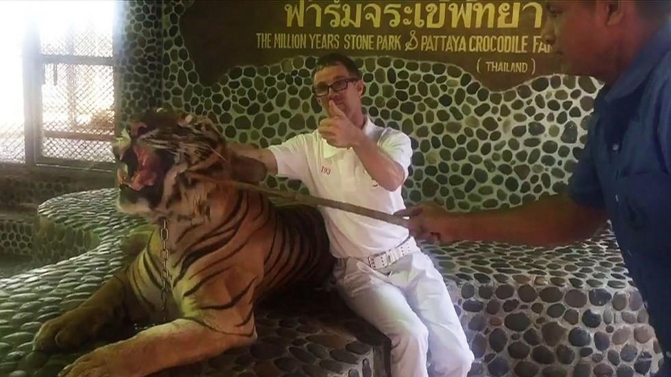 Thái Lan: Hổ nằm bất lực cho người cầm gậy chọc trăm lần vào mặt - 1