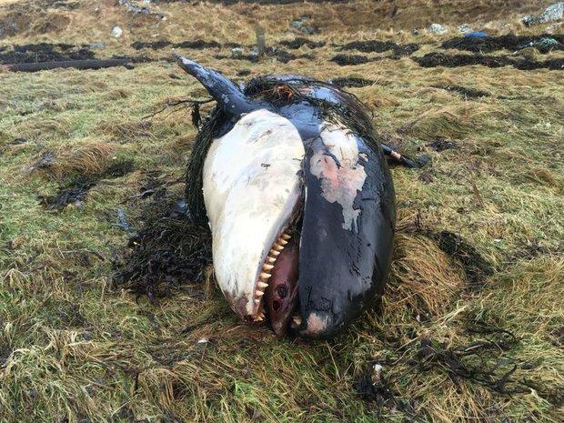 Anh: Cuồng phong cuốn cá voi sát thủ vào đất liền 50m - 1