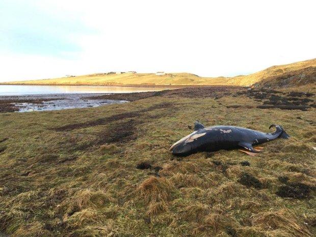 Anh: Cuồng phong cuốn cá voi sát thủ vào đất liền 50m - 3