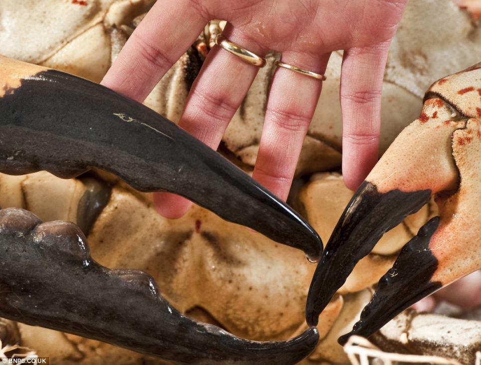 Choáng với loài cua khổng lồ ví gần 90 triệu/con, chỉ đại gia mới dám ăn - 6
