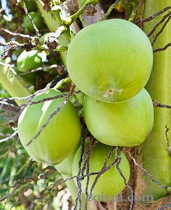 Vài cách làm đẹp với quả dừa - 1