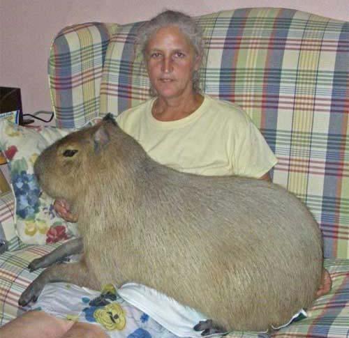 Chuột nặng đến 104,5 kg - 1