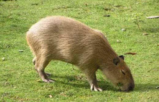 Chuột nặng đến 104,5 kg - 2