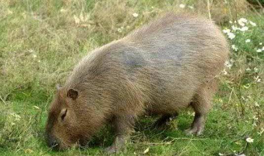 Chuột nặng đến 104,5 kg - 3
