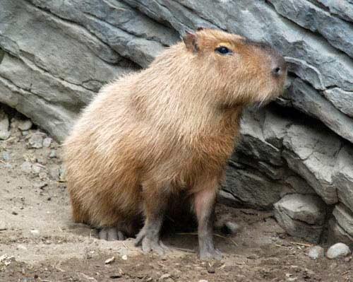 Chuột nặng đến 104,5 kg - 6