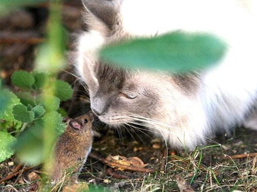 Chuột vuốt râu mèo - 1