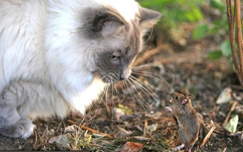 Chuột vuốt râu mèo - 2