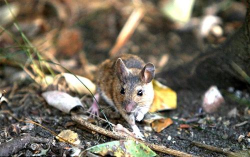 Chuột vuốt râu mèo - 3