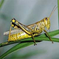 Chữa bệnh bằng… côn trùng