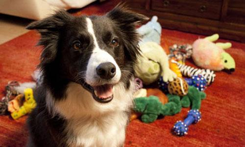 Chú chó thông minh nhất thế giới - 1