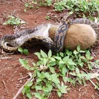 Lần theo dấu vết trăn ăn thịt ở Hà Nam