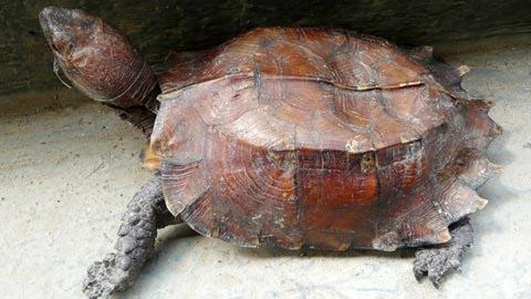 Rùa thần 'hiển linh' ở Hà Tĩnh, Tin tức trong ngày, Rùa thần