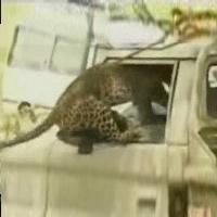 Video: Báo tấn công người
