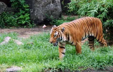 Náo loạn Thảo Cẩm Viên vì hổ xổng chuồng - 2
