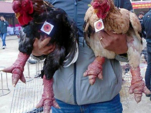 Ngắm cặp gà Đông Tảo có đôi chân đẹp nhất Việt Nam