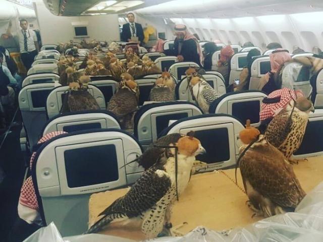 Hoàng tử Saudi mua vé máy bay cho 80 con chim ưng