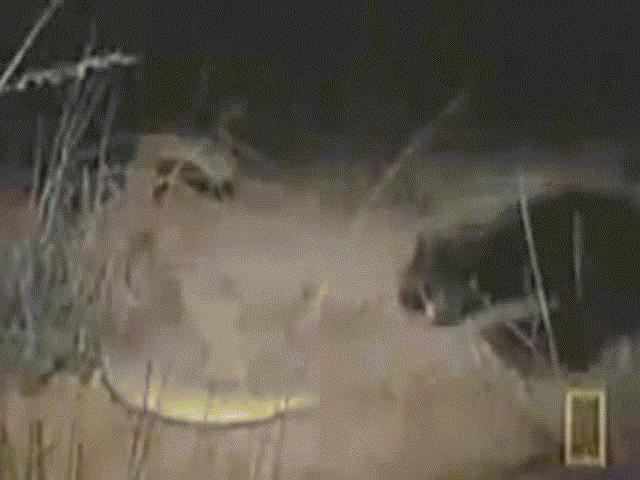 Video: Trận chiến nảy lửa giữa lửng mật và rắn kịch độc