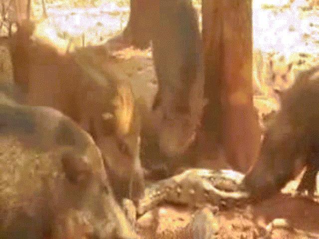 """""""Đắc tội"""" với lợn rừng, trăn khổng lồ bị xé xác đau đớn"""