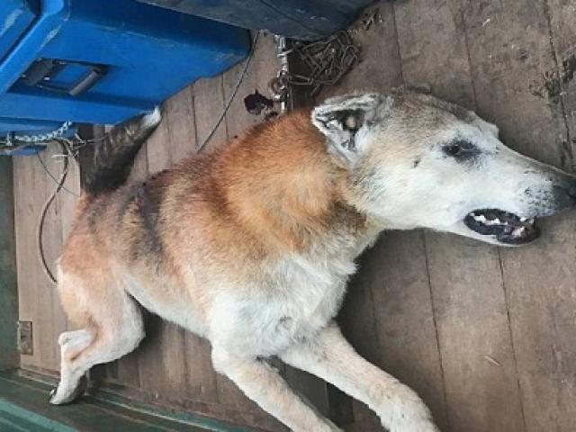 Úc: Chó hoang sát thủ giết 500 con cừu để lấy thận ăn