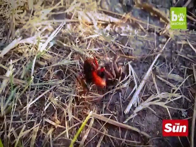 Ong bắp cày dữ dội tấn công nhện sói với mục đích đáng sợ