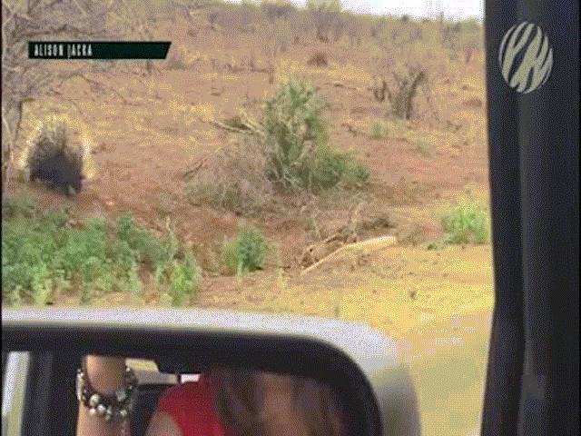 """Video: Báo đốm săn nhím, bị con mồi đuổi chạy """"thục mạng"""""""