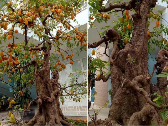 Sửng sốt với cặp khế bonsai ra quả từ gốc tới ngọn