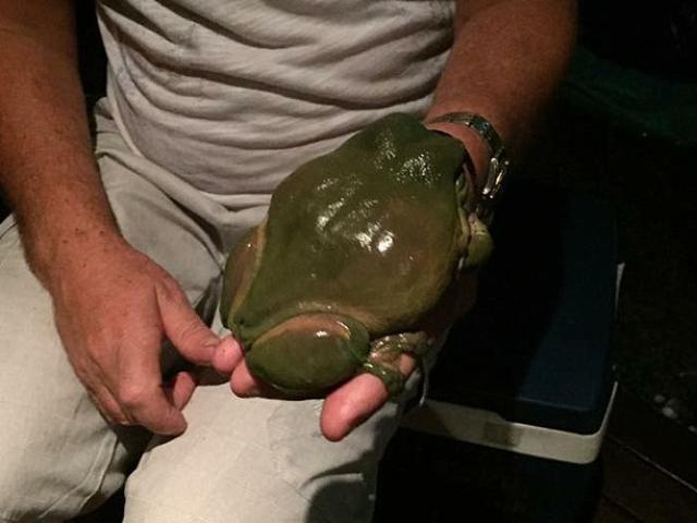 Tìm thấy con ếch khổng lồ to hơn bàn tay người lớn ở Úc