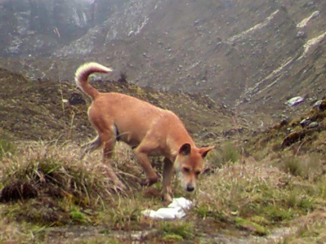 """Loài chó hiếm nhất, cổ nhất thế giới """"tái xuất giang hồ"""""""