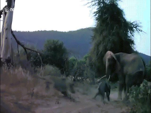Sư tử vồ voi con, voi mẹ giận dữ tung đòn nghênh chiến