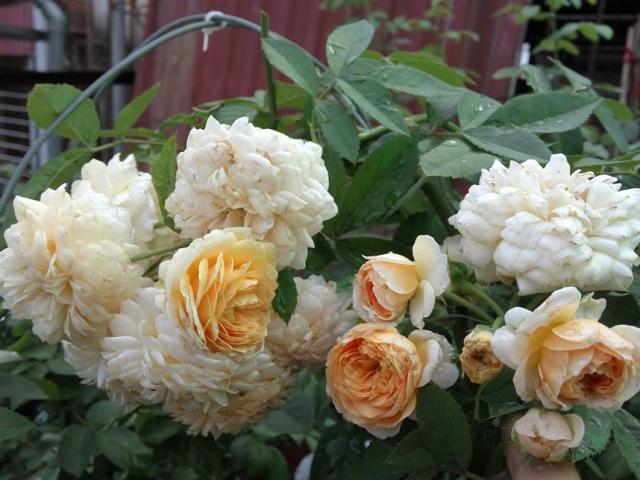 Ngắm mãi không chán vườn hồng ngoại trên sân thượng đẹp như mơ của bà mẹ ở Bắc Giang